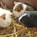 Thumbnail for March is Adopt a Guinea Pig Month!